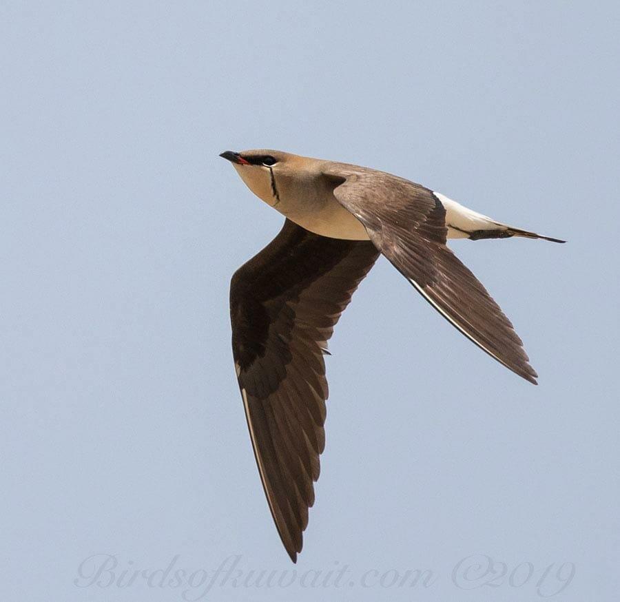 Black-winged Pratincole Glareola nordmanni