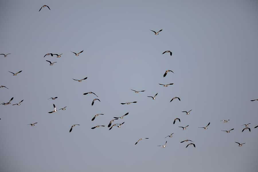 Northern Lapwing Vanellus vanellus and Sociable Lapwing Vanellus gregarius in flight