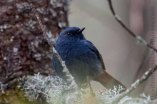 Plumbeous Water Redstart