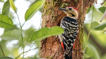 Fulvous-breasted Woodpecker in Ranibari Kathmandu