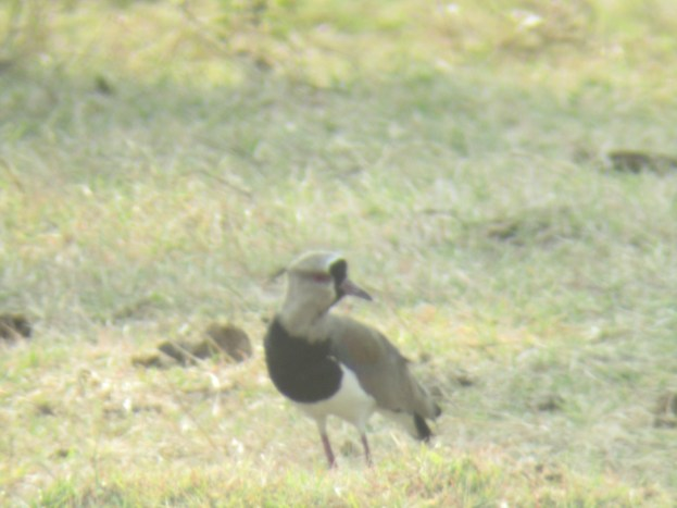 Digiscope of a Southern Lapwing outside of San Juan del Sur, Nicaragua
