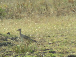 Digiscope of an Upland Sandpiper outside of San Juan del Sur, Nicaragua