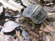White-lipped Mud turtle? from El Zota, Costa Rica
