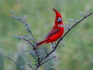 Male Vermilion Cardinal
