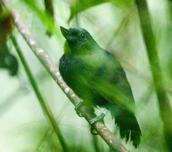 Recurve-billed Bushbird
