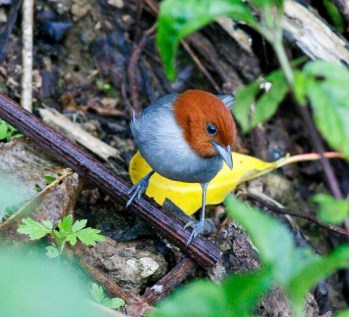 Fulvous-headed Tanager