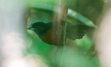 Female Black Bushbird