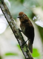 Russet-winged Schiffornis