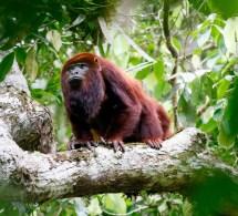 Venezuelan Red Howler Monkey