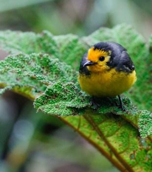 A confinding Golden-fronted Redstart
