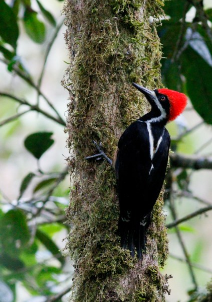 Powerful Woodpecker at Rio Blanco