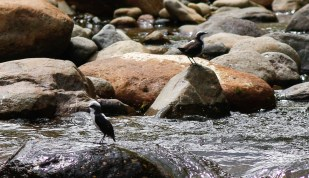 White-capped Dippers along the Rio Otun