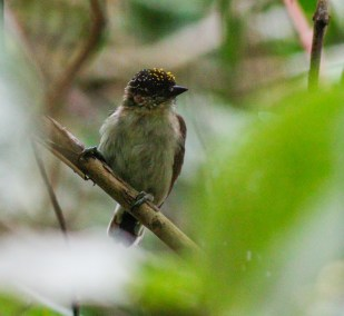 Grayish Piculet along the sendero la cascada at Otun Quimbaya