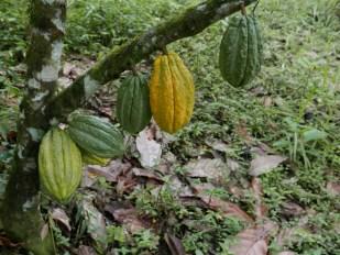 Cacoa fruits