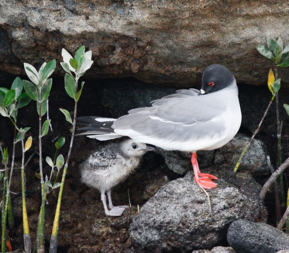 Swallow-tailed Gull with chick
