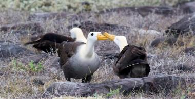 Dancing Waved Albatross