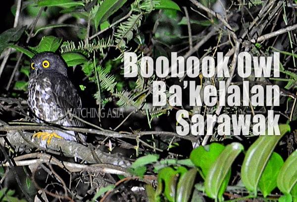 Boobook Owl in Bakelalan Sarawak