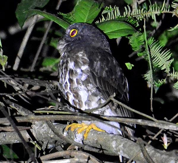 Sarawak Boobook Owl