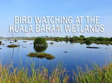 Bird Watching at Kuala Baram Wetlands