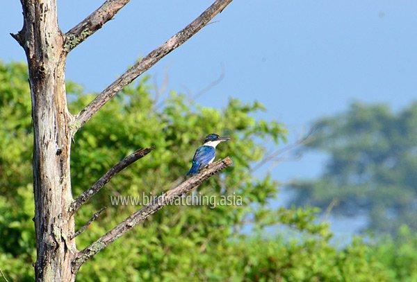 Collared Kingfisher Miri Sarawak