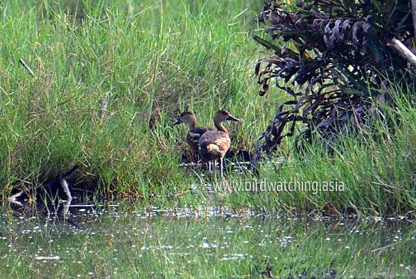 Wandering Whistling Ducks at Kuala Baram Wetlands