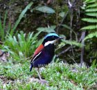 Blue-headed Pitta Maliau Basin Sabah