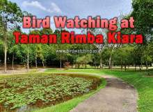 Taman Rimba Kiara Bird Watching