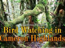 Cameron Highlands Bird Watching