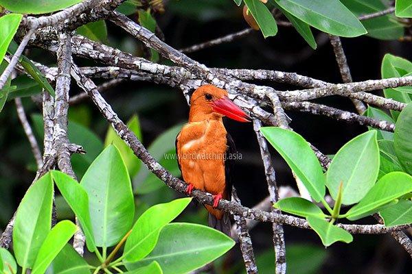 Kingfisher Langkawi Brown-winged