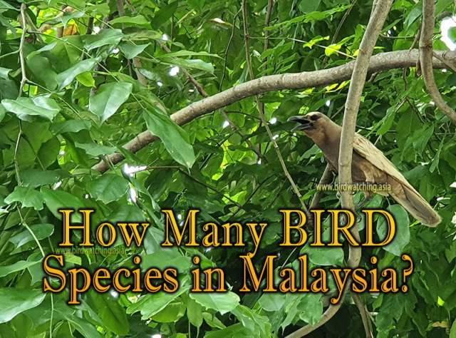 Malaysia How Many Bird Species