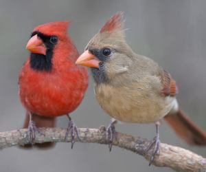 4 Simple Strategies To Attract Cardinals To Your Feeders! (2019)