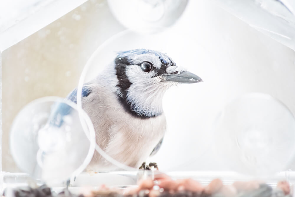 Blue Jay Feeders The 4 Working Best For Me 2019 Bird Watching Hq