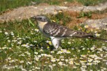 39 Great Spotted Cuckoo - Birding Murcia
