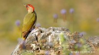 48 Green Woodpecker - Birding Murcia