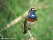 59 Bluethroat - Birding Murcia