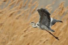 20 Birdingmurcia - Chris VlachosArdea cinerea