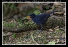 14 BIRDERS ZhongYingKoay - Malayan Whistling Thrush