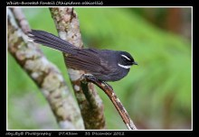 16 BIRDERS ZhongYingKoay - White-throated Fantail