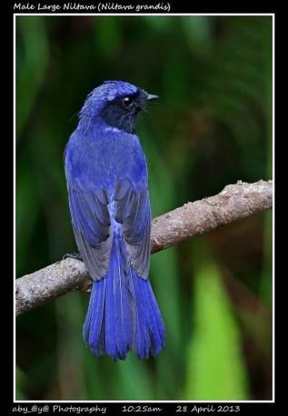 17 BIRDERS ZhongYingKoay - Male Large Niltava