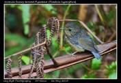 23 BIRDERS ZhongYingKoay - Juvenile Snowy-browed Flycatcher