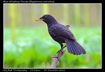 26 BIRDERS ZhongYingKoay - Blue Whistling Thrush