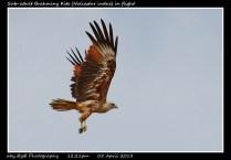30 BIRDERS ZhongYingKoay - Sub-adult Brahminy Kite