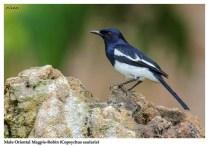 31 BIRDERS ZhongYingKoay - Male Oriental Magpie-robin