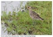 37 BIRDERS ZhongYingKoay - Pacific Golden Plover
