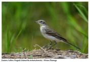 47 BIRDERS ZhongYingKoay - Eastern Yellow Wagtail