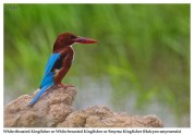 52 BIRDERS ZhongYingKoay - White-throated Kingfisher