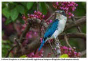 53 BIRDERS ZhongYingKoay - Collared Kingfisher