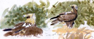 10 Szabocs Kokay - birdingmurcia