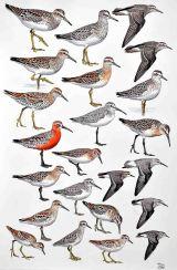 25 Szabocs Kokay - birdingmurcia