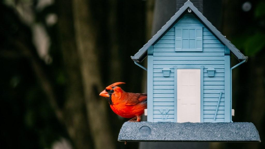 do cardinals kiss